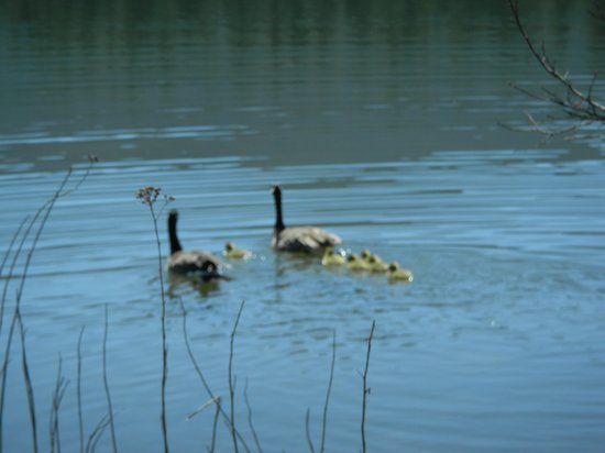 Falls Motel : Geese and goslings