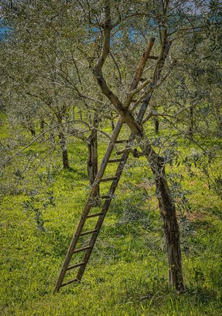 B&B Milleulivi: Work on the 1000 Olive Trees never end.