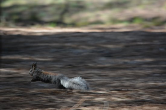 Grand Canyon North Rim: Kaibab squirrel