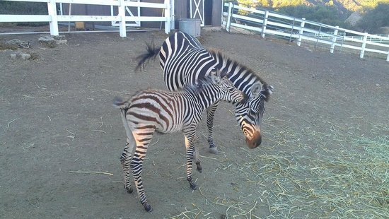 Malibu Wine Safaris : more zebras....