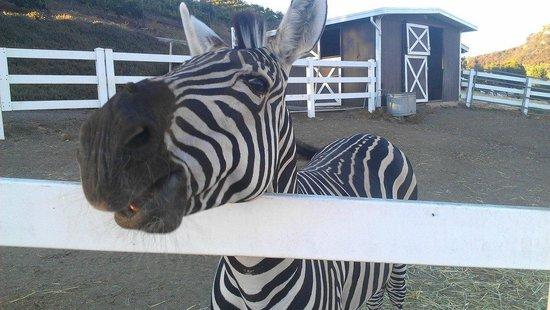 Malibu Wine Safaris : zebras