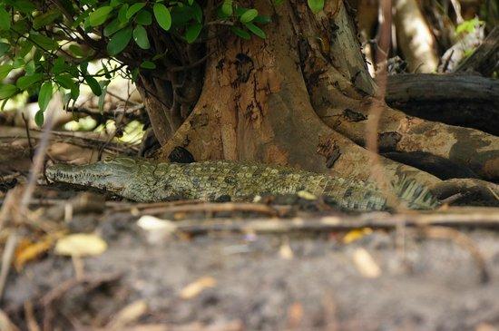 Sanctuary Saadani Safari Lodge: Croc!