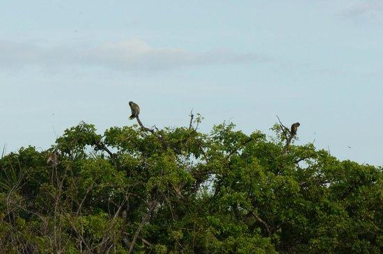 Saadani Safari Lodge: Monkeys on the property