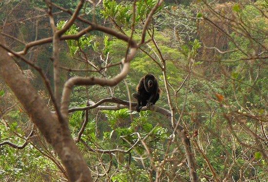 Refugio De Vida Silvestre Chocoyero-El Brujo Day Tours: Solo howler monkey