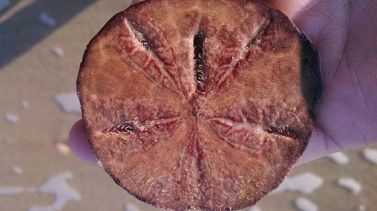 Hunting Island State Park Campground: Live Sand dollar -found several of them