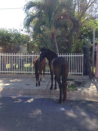Villa Coral Guesthouse : Wild horses out and about