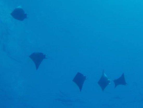 Avillion Layang Layang: Marbel rays