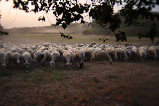 Parco Regionale dell'Appia Antica: the herd