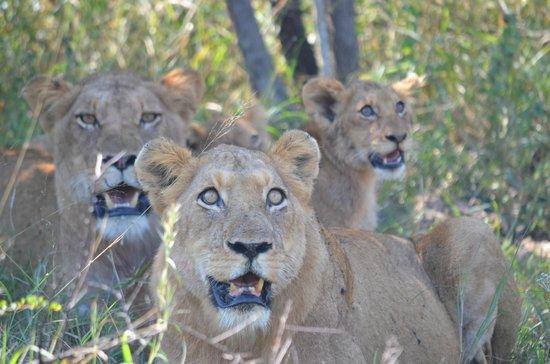 Chitwa Chitwa Private Game Reserve: Lionesses and cub
