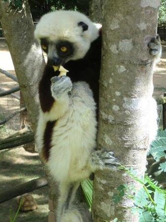 """Lemurs Park : lémurien """"danseur"""""""
