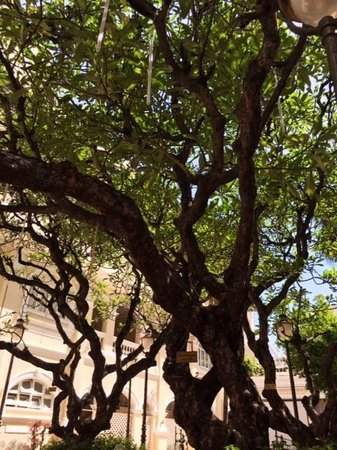 Hotel Continental Saigon: this tree had seen it all.. since 1860