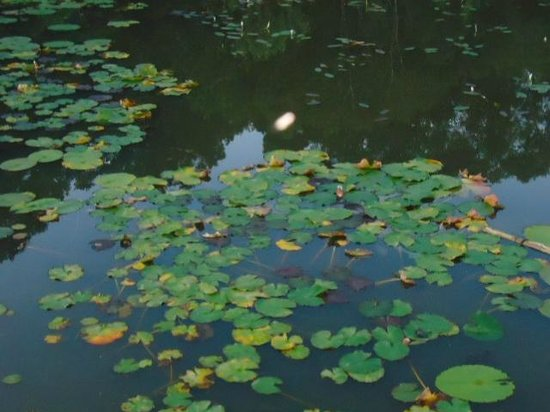 Forest Edge Nature-lovers' Retreat: waterlilies