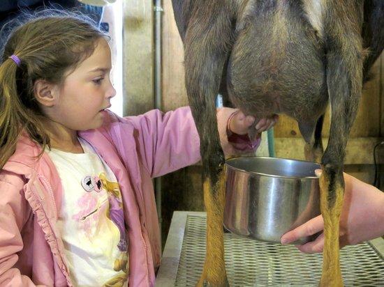 Rutland, MA: everyone milked the goats