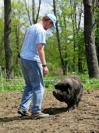 Rutland, MA: huge male pig