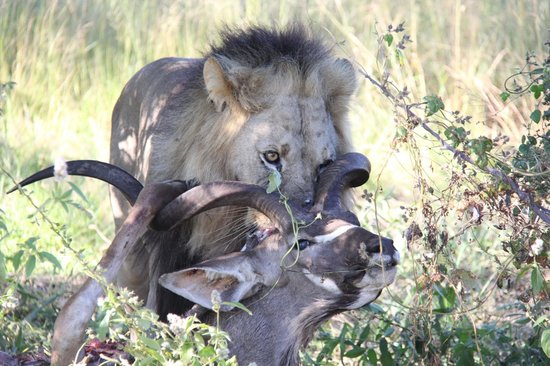 Deception Valley Lodge: Fortunately guests are not treated like this kudu...