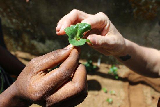 "1000 Cups of Coffee: Coffee safari- ""butterfly"" phase of coffee seedlings"