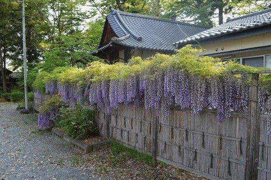 Oiimatakubohachiman Shrine: 寺務所の藤棚