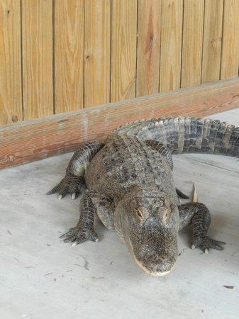 Jungle Erv's Everglades Airboat Tours: Ali 1