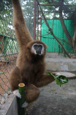 Safari Park Open Zoo : Chutney the gibbon