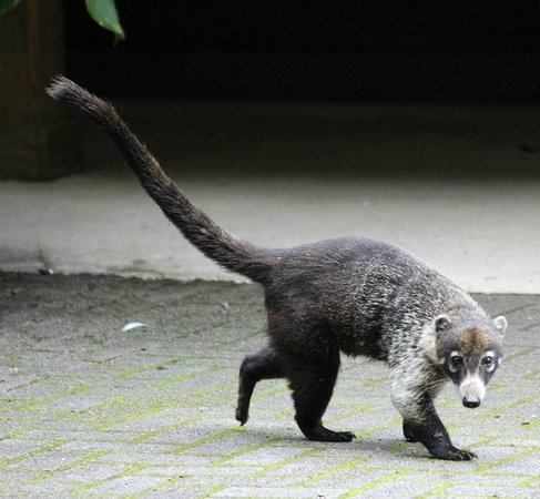 La Casona Lodge : Coati