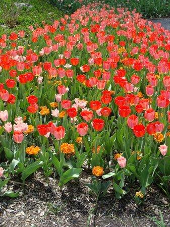 Tulips Picture Of Chicago Botanic Garden Glencoe Tripadvisor