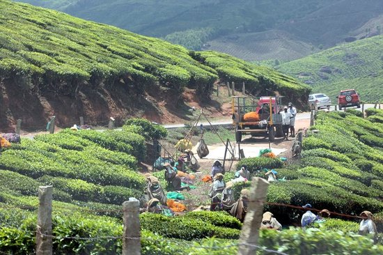 Ayur County Resorts : tea estates