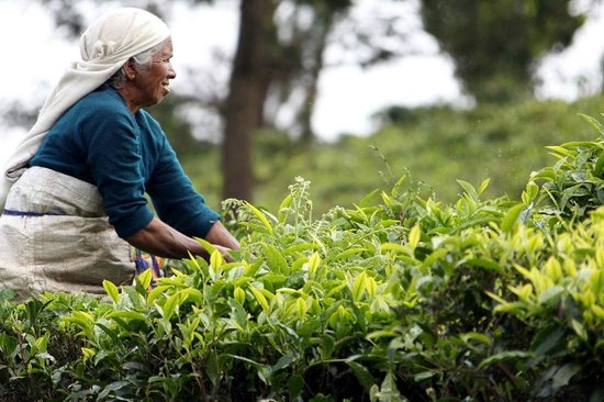 Ayur County Resorts: Tea plucking