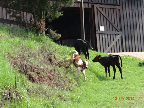 Destiny Farmstay : the calves out of the barn