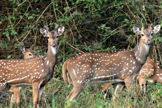 Jungle Inn: spotted deer