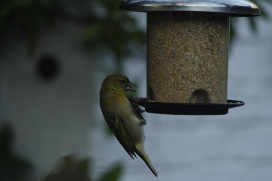 Rivonia Bed & Breakfast: Bird feeders atract a variety of plumed friends