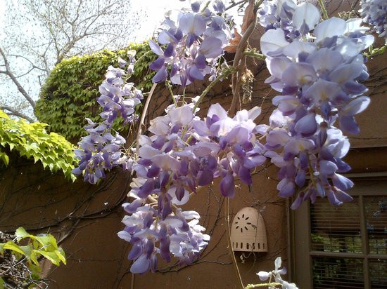 Inn on the Alameda: Spring wisteria outside rooms