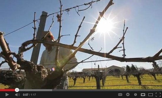 Corison Winery: Budbreak in Kronos Vineyard