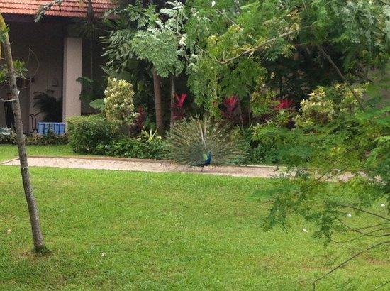 Sofitel Singapore Sentosa Resort & Spa: Peacocks