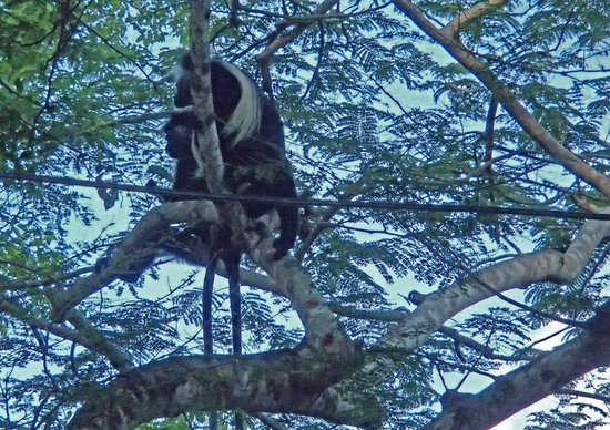 Kenyaways Beach Bed & Breakfast: One of the Colobus surrounding the grounds