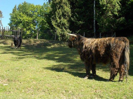 Le Moulin de la Jarousse : les yacks en chair et en os !