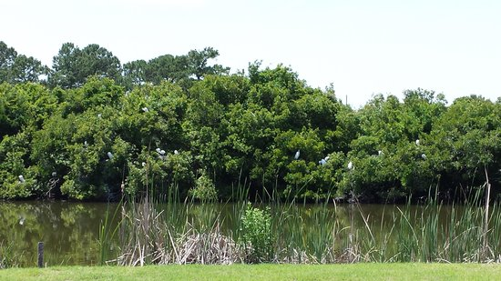 Charleston National Golf Club: Great Egret Colony btwn 2nd and 3rd holes