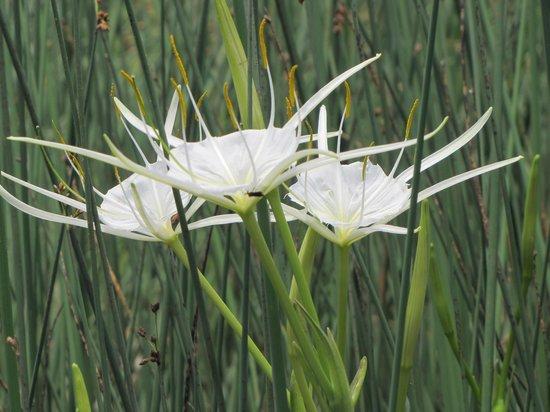 Beaufort Kayak Tours: Spider Lilies