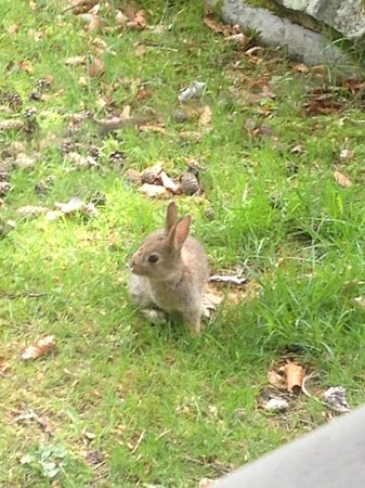 Pine Bank Chalets: Baby rabbit right outisde our kitchen window!