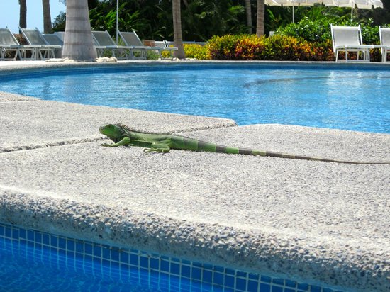 The Grand Bliss: the iguanas visit you at the pool :)