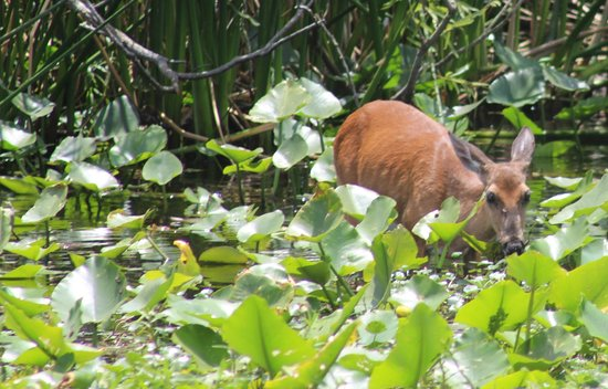 Blue Heron River Tours: The Wading Deer