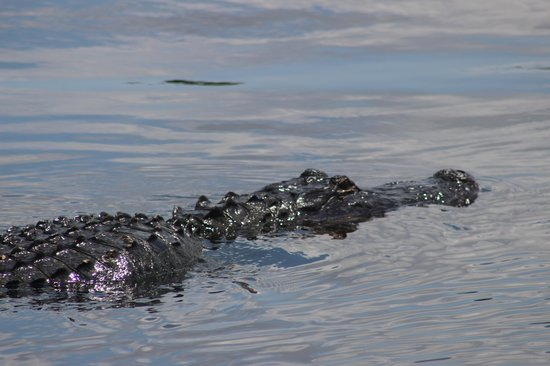 Blue Heron River Tours: A Gator Crossing in Front of the Boat