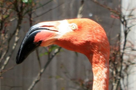 Cape May County Park & Zoo : Flamingo