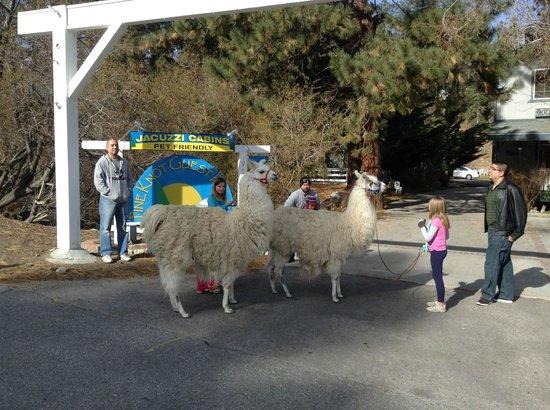 Pine Knot Guest Ranch: Walking the Llamas