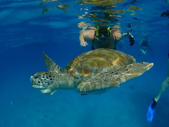 Cliff Sharker: Swimming with sea turtle Barbados
