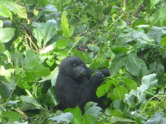 Africa Veterans Safaris - Day Tours: Baby gorila at Bwindi national park - Uganda