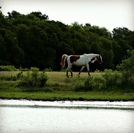 Chincoteague Cruises & Nature Tours : Viewing the ponies with Captain Charlie