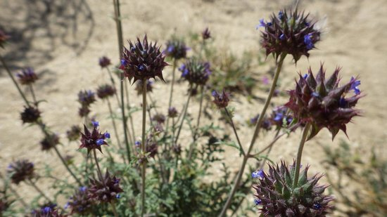 Jumbo Rocks Campground: Wildflowers in camp