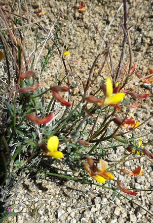 Jumbo Rocks Campground: Wildflowers in camp