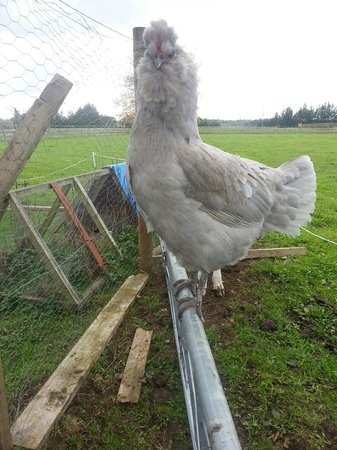 Amberfields Bed & Breakfast: Well hi there... Im sure looking forward to laying an egg for you