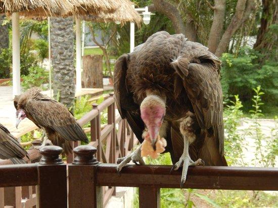 Senegambia Beach Hotel: De gieren bij het hotel